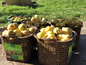 Quitten und Äpfel von unserer Obstwiese stehen bereit