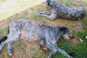Deerhound Deckrüde in Deutschland..., Deerhound studdog in Germany! Scottish Deerhounds von Alshamina/Welpen/Würfe/Züchter/Deutschland!