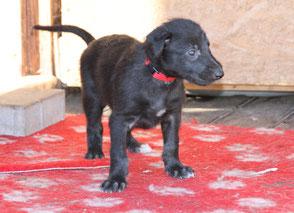 Scottish Deerhound in Deutschland..., Deerhound puppies in Germany! Scottish Deerhounds von Alshamina/Welpen/Würfe/Züchter/Deutschland!