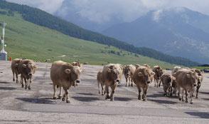 牛軍団が行く