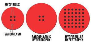 гипертрофия, миофибрилла, саркоплазма