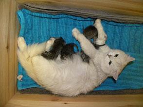 Sissy's neue silbertabby spottet Kitten