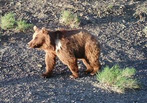 Der Gobibär (Bild: R. Hotzy)