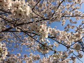 仲田公園の桜の木 写真