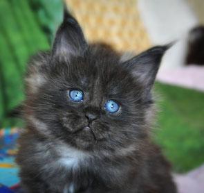 Питомник кошек породы мейн кун в Санкт-Петербурге Nord-Westland© тел +7-921-947-99-74