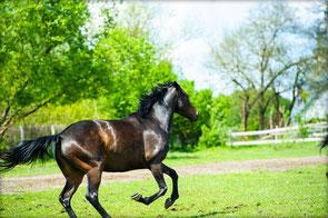 Cutivet Pferd