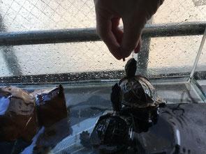 亀にエサをあげている画像