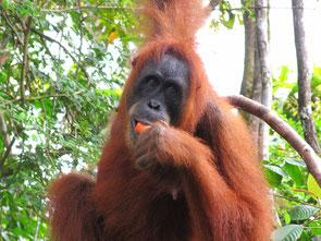 Orang Utan-Dame auf Sumatra