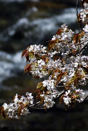 中津川、名残の桜付知川