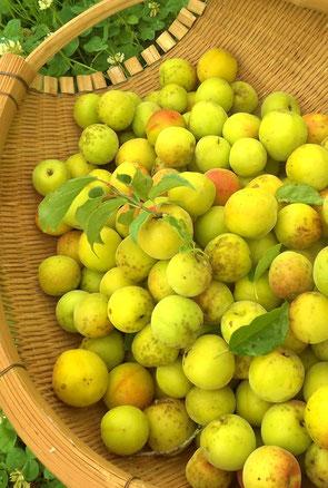 夏ばて防止に梅を食べよう!日本料理美菜ガルテンふるかわ