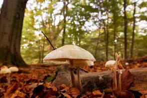 Pilze im Urwald Sababurg / Reinhardswald