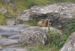 Marmotte du saut du Laïre
