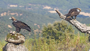 Imperial eagle pair