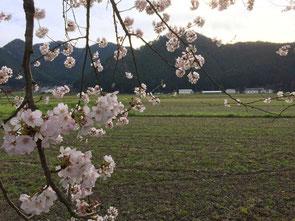 桜の奥に見えるのが鶏舎