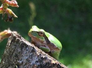 あちこちで蛙の合唱が聞こえてきます