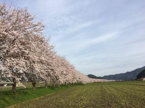 川沿いに見事な桜が続きます。