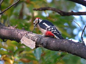 ・2006年11月3日 秋ケ瀬公園    ・本日、2回目の出会い。 樹の皮がきれいに剥けている。 お気に入りの樹なのかもしれない。