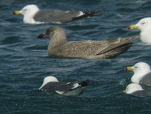 ・2010年2月6日 銚子港 第1回冬羽   ・体と初列風切の色が同じ。  羽色が灰褐色。 ・嘴が大きい。