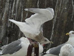 ・1011年2月5日 銚子港    ・見やすいとことで何度も翼を広げてくれたので識別は容易だった。