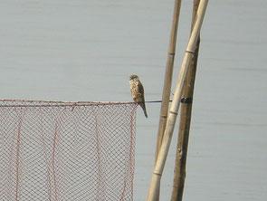 ・2008年3月29日 印旛沼北部調整池   沼の中央付近に設置されている魚網の上で。
