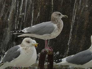 ・1011年2月5日 銚子港    ・頭、顔、頸、胸などにモヤッとした茶褐色の斑。  セグロカモメ(前列)より羽衣の色が薄い。
