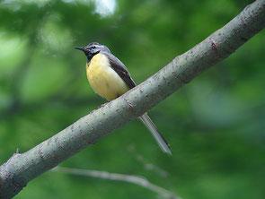 ・2006年6月24日 伊香保森林公園    ・♂夏羽。 喉が黒く、胸から腹は黄色で、脇は白っぽい。 キセキレイを下から撮影したのはこれがはじめて。