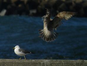 ・2010年1月9日 銚子港    ・第1回冬羽。 風切先端に淡色の羽縁が見られる。 左はウミネコ。