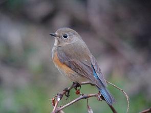 ・2007年3月24日 北本自然観察公園    ・まだ健在だった。 一羽で行動。 ♂の姿はなかった。