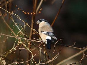 ・2007年1月7日 八丁湖公園   ・地上近くの雑草の実を啄ばんでいた。