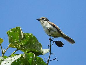 ・2007年6月23日 神奈川県 (♀)  本日の最初の一枚。 連写モードで撮影したが、2枚目は既に姿がなかった。   雌は雄に似るが、過眼線の黒味は薄く、脇から横腹にかけ、黒褐色の横斑がある。
