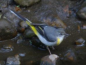 ・2009年2月21日 東久留米市黒目川    ・ハクセキレイより多く見られた。