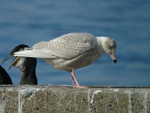・2010年1月30日 銚子港    ・シロカモメ第1回冬羽   大きくて、よく目立っていた。