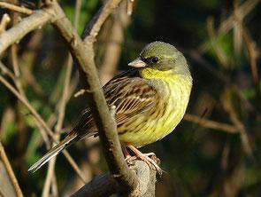 ・2007年2月24日 秋ケ瀬公園    ・朝日に映えて、腹の黄色がとても綺麗だった。