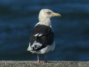 ・2010年1月9日 銚子港    ・成鳥。 大型カモメの中で、背の黒灰色が、もっとも濃い。