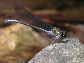 ・2010年5月22日 城里町   金色に輝いていたトンボ。 透き通った羽に赤い斑、黒い目が特徴か。