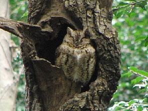 ・2009年2月26日 明治神宮  ・全身褐色で、樹皮によく似た模様を作っている。羽角が長い小形のフクロウ。