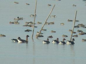 2013年12月31日 北印旛沼  ・沼中央部の漁網近くでヒシクイ 6羽。 その向こう側に、トモエガモが見える。