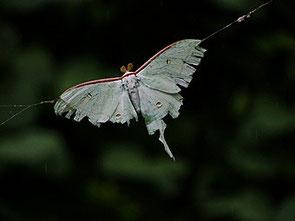 ・2015年8月20日 葛西臨海公園   ・蜘蛛の糸に絡まり もがいていた。 糸を取り払って救出したが、ぐったりとしていた。