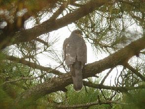 ・2008年11月15日 手賀の丘公園  カラスに追われて、松の樹に避難。 枝が入り組んだ所であったが、いい位置にとまってくれた。  最初は、「オオタカ」と紹介したが、著名な方からのご指摘により、ハイタカと改めた。 よく見れば、顔つきが違う。  腹部が見えていないので、雌雄の判別は困難であるが、本個体は、茶褐色で、羽縁がなく、大きさも、キジバトより大きく、オオタカより小さい故、雌成鳥である可能性が高い。