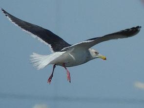 ・2010年1月23日 銚子港    ・嘴の先端に黒斑が残っているが、嘴が黄色で、赤斑もあることから成鳥。 羽色の濃さからオオセグロカモメ。