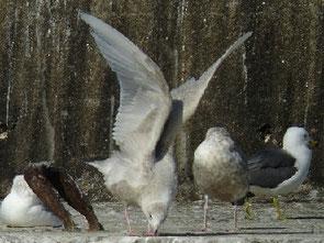 ・2010年1月23日 銚子港    ・シロカモメ(第2回冬羽)   背、肩羽が白とバフ色が混ざった第2回冬羽。