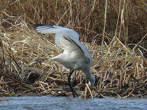 ・2008年1月13日 菅生沼  風切の先端と外側初列風切りが黒いことから、この個体は幼鳥もしくは若鳥。