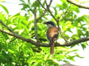 ・2007年6月23日 神奈川県 (♂)   ・他のモズ類に比べて尾が短く全体的に小さい。 しかし、嘴は大きい。