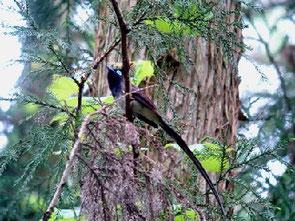 ・2007年5月19日 城里町   ・サンコウチョウのオス成鳥は初見。 もう少し、大きいかと思っていたが、意外とちいさかった。  オスとメスの区別は、この長い尾羽というが、秋の渡去期には、この長い尾羽も抜け落ちてしまう。 メスは、アイリングがオスよりも細く、色も薄い。