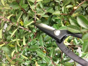 Rückschnitt der Triebe auf 1-2 Blattpaare an einem Bonsai Rohling