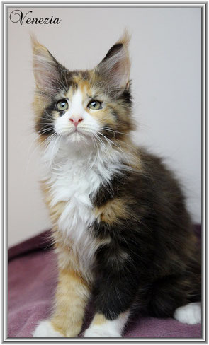 Maine Coon black tortie white