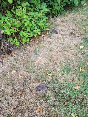 petits hérissons dans notre jardin