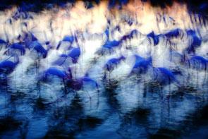 Jonathan LHOIR - Flamingo -  Festival photo de Moncoutant sur Sèvre