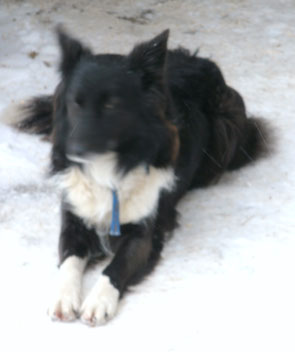 "Border Collie ""May"""