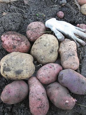 Вот такую картошечку выращиваем